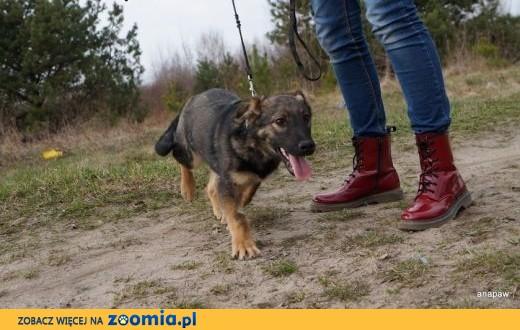 Majka – 7 miesieczna, niewielka , taki wilczek na krótkich łapkach,  mazowieckie Warszawa