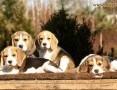 'beagle Królewska Zgraja - szczenięta beagle