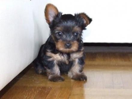 Sprzedam Yorki Yorkshire Teerrier szczeniaki maluchy mini York,  mazowieckie Warszawa