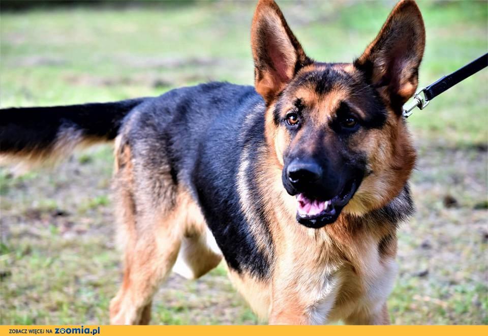 Dżeki, roczny OWCZAREK, wesoły, przyjazny psiak do adopcji!