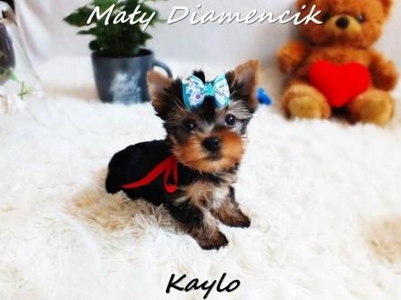 Yorkshire Terrier Miniaturka XS piesek KAYLO MINI szczeniaczek+Rodowód+Wyprawka