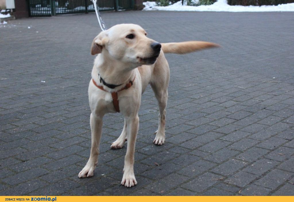 Tobi - młodziak w typie labradora szuka domu