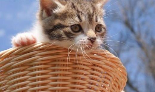 6 tygodniowe koteczki do adopcji!   Koty pospolite cała Polska