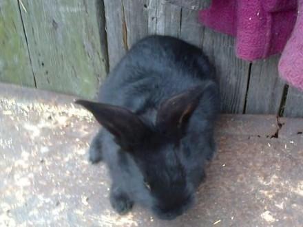 Sprzedam króliki OSC - srokacz olbrzym