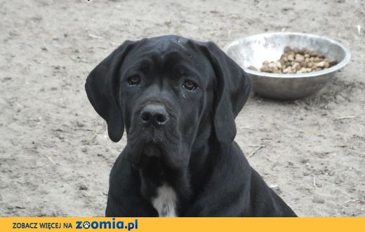 cane corso italiano,  mazowieckie Pionki