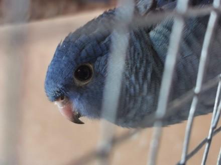 Katarzynki Ajmarki papugi