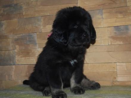 Mastif tybetański szczenięta