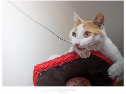 Długi, cudowny kot rudzielec szuka domu!