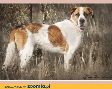 Duży 45 kg 3 lata   stróżujacy  w typie bernardyna  pies HELIOS_Adopcja