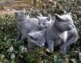 Piękne kocięta Rosyjskie Niebieskie