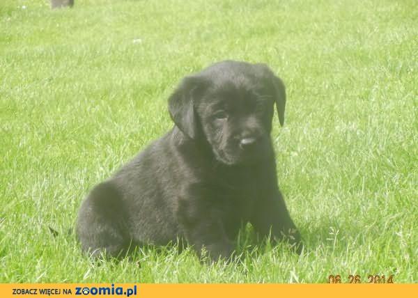 Labrador Labradory Rodowodowe Czarne FCI