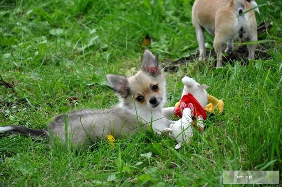 Odchowany szczeniak chihuahua dla każdego.zAPRASZAM NA FILM