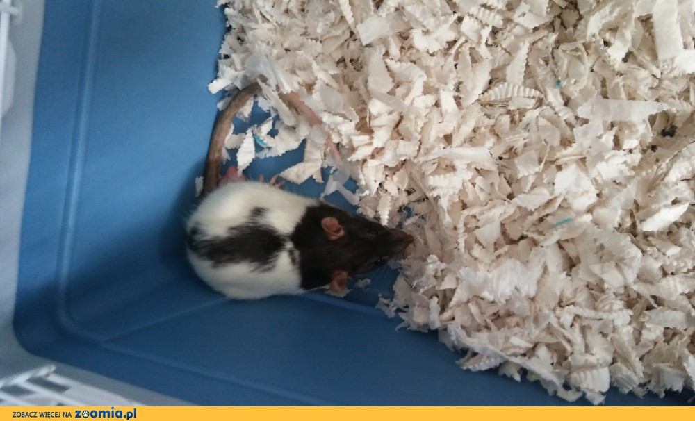Oddam szczura