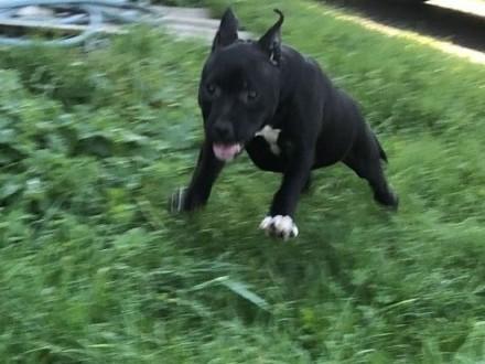 Staffordshire Bull Terrier STAFFIK gotowa do wyjazdu za granice