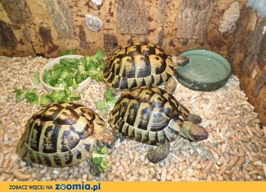 Duże piękne żółwie greckie sprzedam,  warmińsko-mazurskie Giżycko