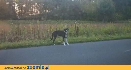 Znaleziono psa,  małopolskie Brzesko
