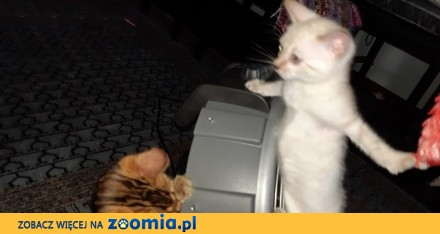 Bengalski kot - sa śniezne bengale