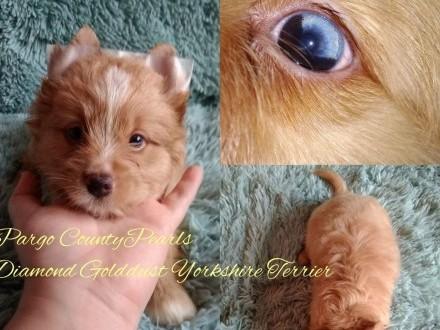 Diamond Golddust Yorkshire Terrier - niebieskie oko - gen Merle - nie Biewer - piesek