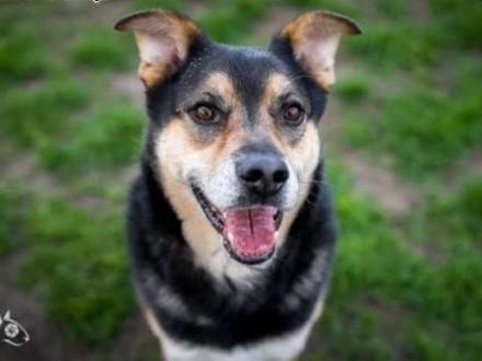 UWAGA! Pies idealny szuka domu! Oto BERCIK!   małopolskie Kraków