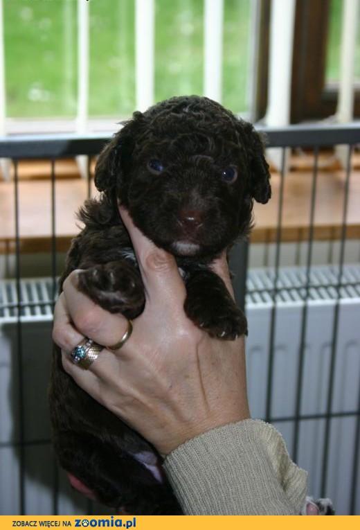 Hiszpański pies wodny (ze wspaniałym temperamentem),  Pozostałe rasy cała Polska