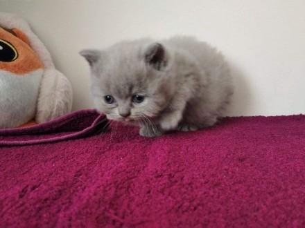 Kot brytyjski liliowy FPL   lubuskie Świebodzin