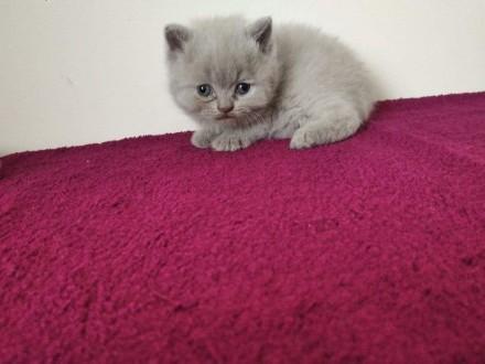 Kot brytyjski liliowy FPL,  lubuskie Świebodzin
