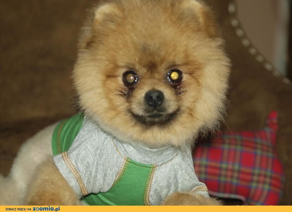 Przesliczne Szczenieta Pomeranian Piesek Boo