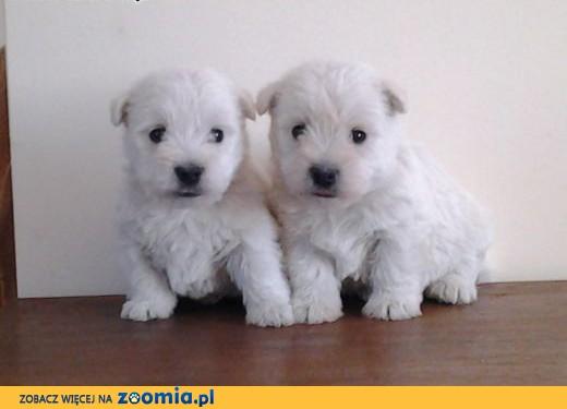 sprzedam szczenięta rasy west highland white terrier,  wielkopolskie Konin