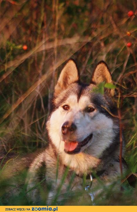 Hera łagodna, energiczna, wesoła suczka w typie alaskan malamute