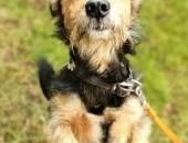 CZIKO - kochany, mały psi seniorek wyrzucony na ulicę jak śmieć pragnie domu