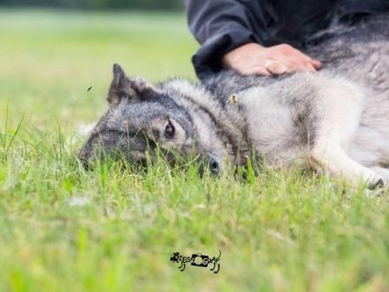 Młoda Kira  cudna  wesoła wilczyca szuka domu!