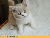 Kocurek brytyjski kocięta brytyjskie rodowód WCF,  mazowieckie Grójec