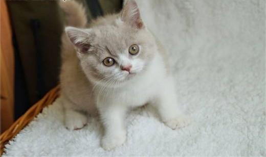 Kocurek brytyjski kocięta brytyjskie rodowód WCF   mazowieckie Grójec