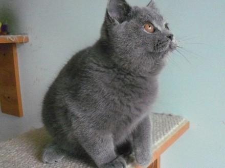 Piękna kotka brytyjska hodowlana półroczna  rodowód Felis Polonia