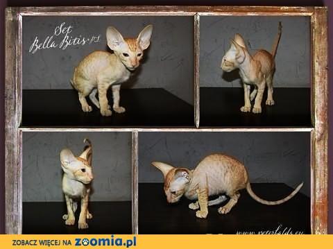 Kocięta rasy peterbald