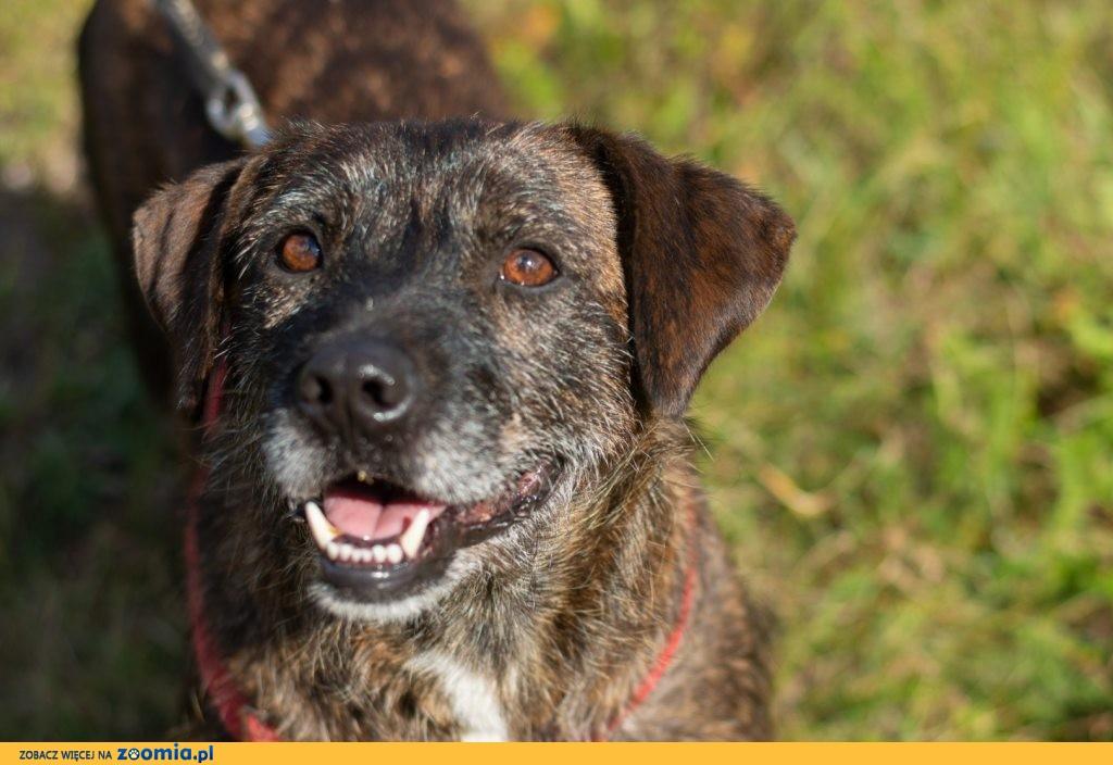 Brutus_ terrier mix, grzeczny, niekonfliktowy psiak do adopcji!