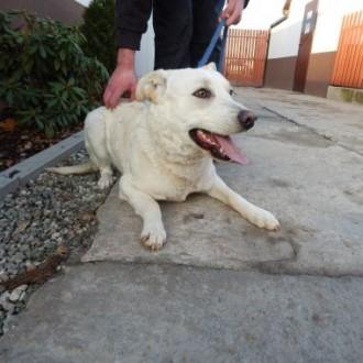 Piesek w typie biszkoptowego labradora szuka domu