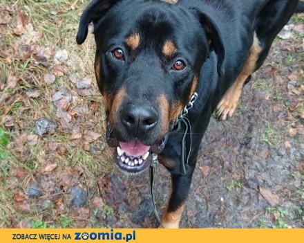 Rotek - pies w typie rasy rotweiler szuka domu