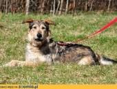 Alojzy - wielki pies o wielkim sercu, do kochania i ściskania :)