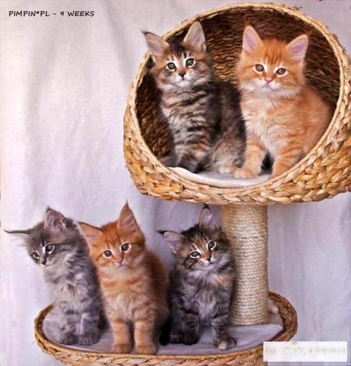 Wspaniałe rodowodowe kociaki Maine Coon