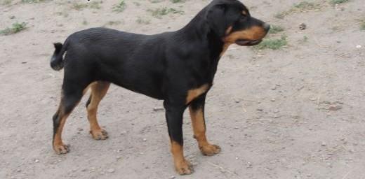 Rottweiler 8 miesięczna sunia   podkarpackie Jarosław