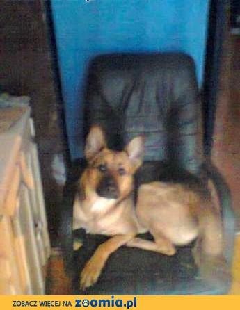 Oddam psa suczke mieszaniec owczarka niemieckiego,  śląskie Siemianowice Śląskie
