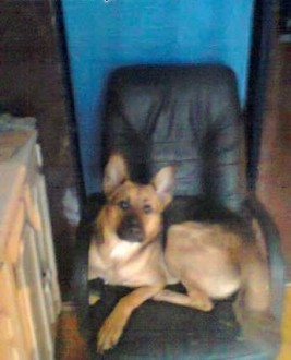 Oddam psa suczke mieszaniec owczarka niemieckiego   śląskie Siemianowice Śląskie