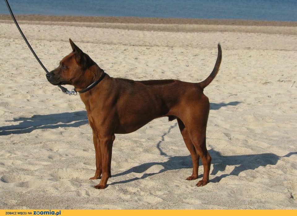 Thai Ridgeback Dog - wyjątkowe mahoniowe szczenięta - jedyne w Polsce!