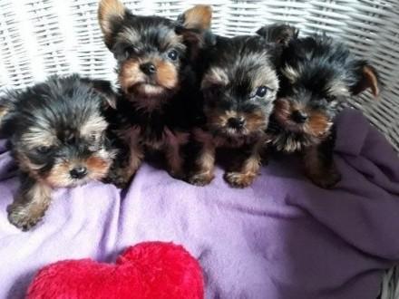 Malutkie szczeniaczki Yorkshire Terrier