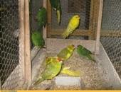 Papugi Modrolotki - Kozy