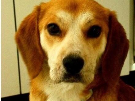 14 kg  rasa beagle łagodny spokojny kontaktowy piesek BIGIEL_Adopcja