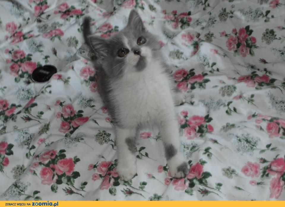 Kotki niebieskie i biało-niebieskie