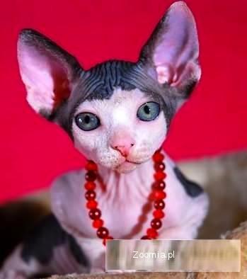 Kot Sfinks Oddam Pwy06 Usafrica