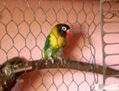 Papugi nierozłączki i faliste